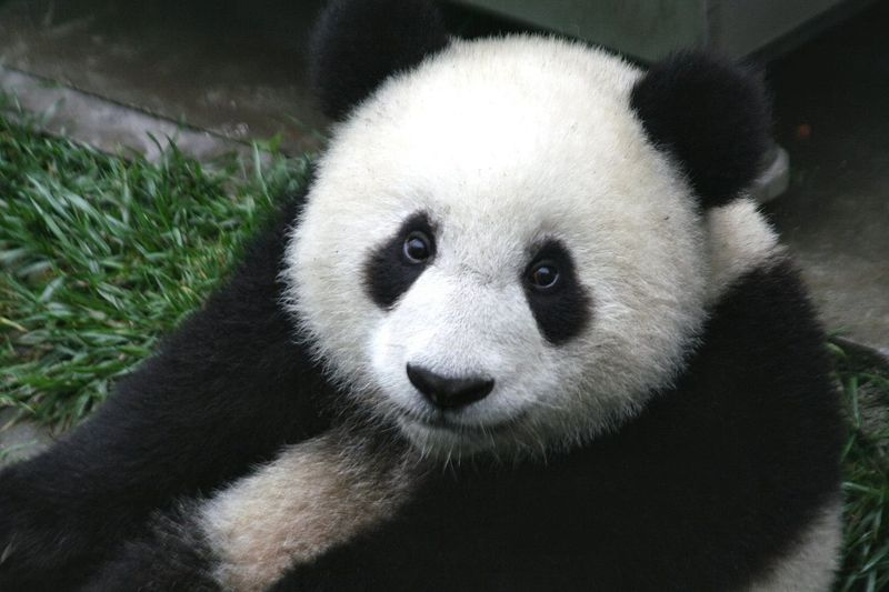 1280px-Panda_Cub_from_Wolong,_Sichuan,_China